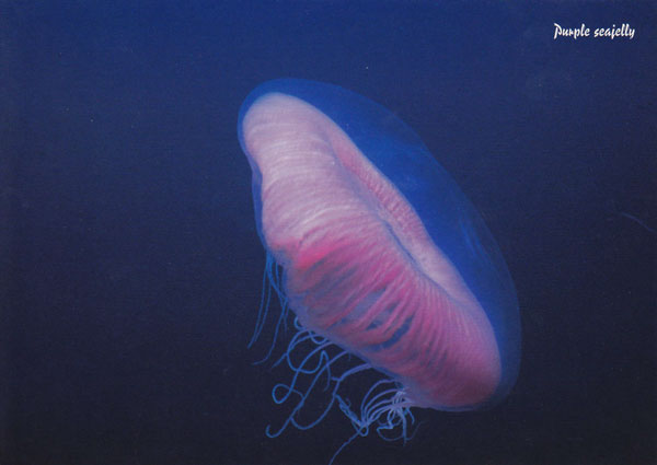 Purple Sea Jelly