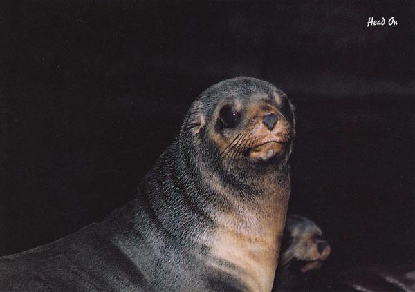 Australian first seal - Heads on