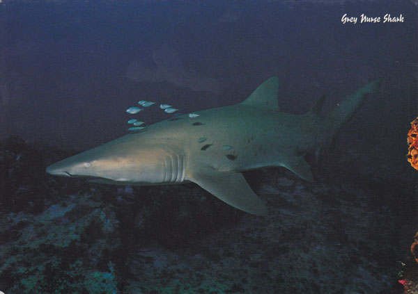 Grey Nurse shark